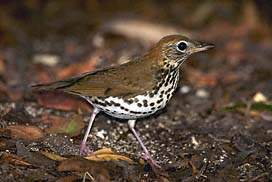 Wood Thrush -- Photo courtesy of eNature.com