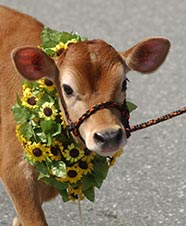 A bovine cutie...click here for story...