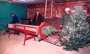 Mail Order Trees, being packed for shipping in a box Mountain Star Farms, Swiftwater, NH