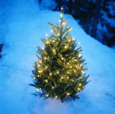 grow your very own christmas tree - How To Grow Christmas Trees