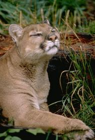 Mountain Lion  - Photo Courtesy of Squam Lakes Natural Science Center