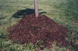 Don't Pile Mulch Too High Around the Base of a Tree!